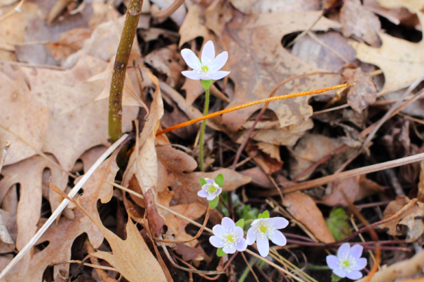 sharp-lobed hepatica2