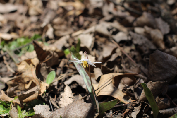 trout lily nitschke mounds